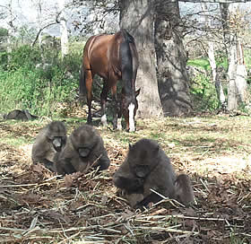 Horse with baboons